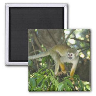 Common Squirrel Monkey, (Saimiri sciureus), Rio 2 Inch Square Magnet