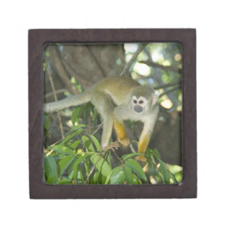 Common Squirrel Monkey, (Saimiri sciureus), Rio Jewelry Box