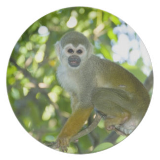 Common Squirrel Monkey (Saimiri sciureus) Rio Plate