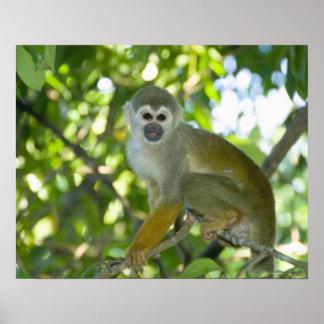 Common Squirrel Monkey (Saimiri sciureus) Rio Poster