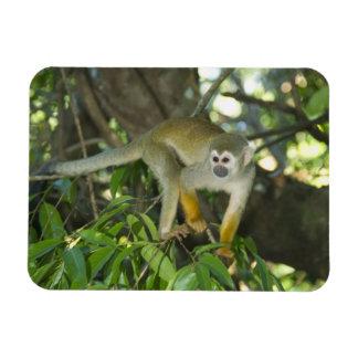 Common Squirrel Monkey, (Saimiri sciureus), Rio Rectangular Magnet