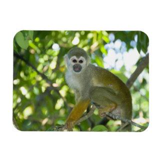 Common Squirrel Monkey (Saimiri sciureus) Rio Rectangular Photo Magnet