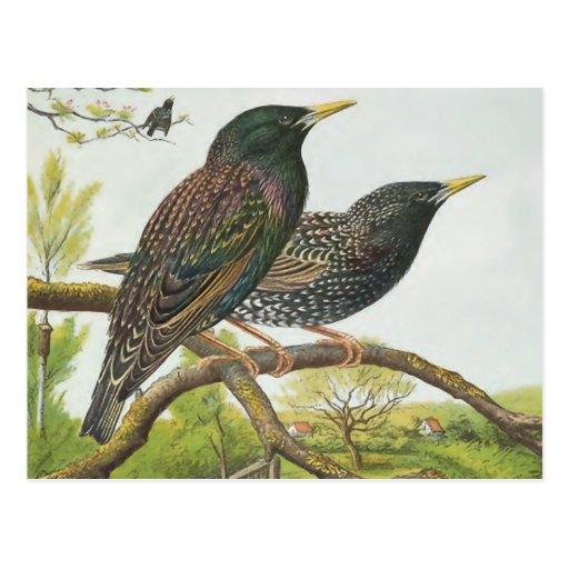 Common Starling Postcard