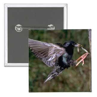 Common Starling with worm Button