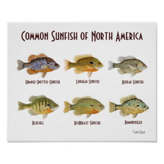 Common Sunfish of North America.. Poster
