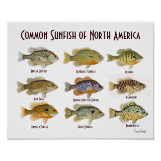 Common Sunfish Poster