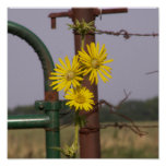 Common Sunflowers at the gate Poster