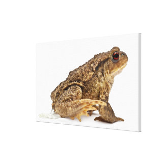 Common toad or European toad (Bufo bufo) pissing Gallery Wrapped Canvas