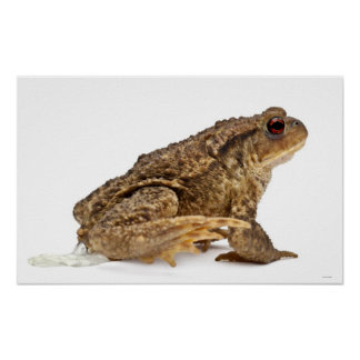 Common toad or European toad (Bufo bufo) pissing Poster