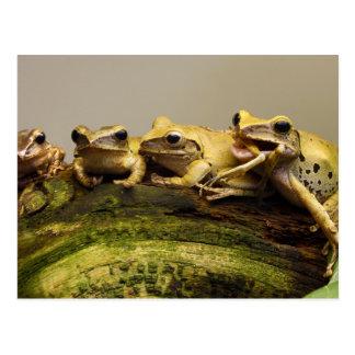 Common Tree Frog Polypedates Leucomystax Postcard