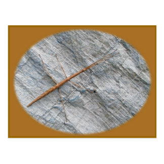 Common Walkingstick (Diapheromera femorata) Items Postcard