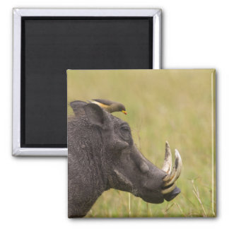 Common Warthog Phacochoerus africanus) with 2 Inch Square Magnet