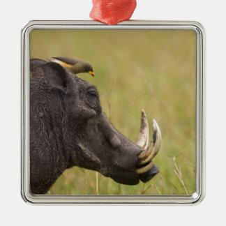 Common Warthog Phacochoerus africanus) with Christmas Ornament
