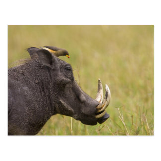 Common Warthog Phacochoerus africanus) with Postcard
