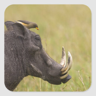 Common Warthog Phacochoerus africanus) with Square Stickers