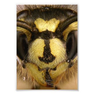 Common Wasp Vespula Vulgaris Photo Print
