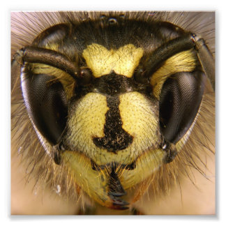 Common Wasp Vespula Vulgaris Art Photo