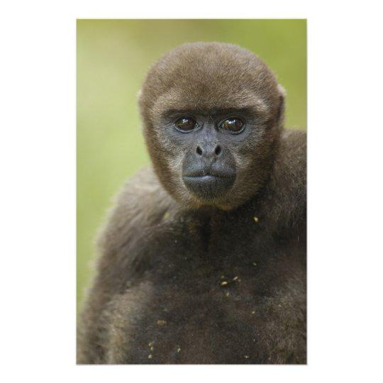 Common Woolly Monkey Lagothris lagothricha), Photo Print