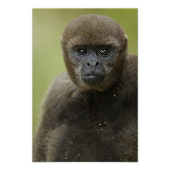 Common Woolly Monkey Lagothris lagothricha), Poster