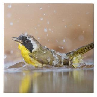 Common yellowthroat bathing large square tile