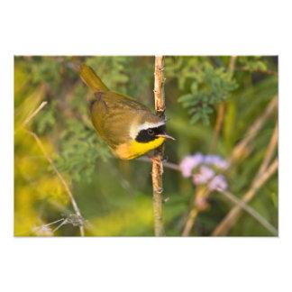 Common Yellowthroat Geothlypis trichas) male, Photo Print
