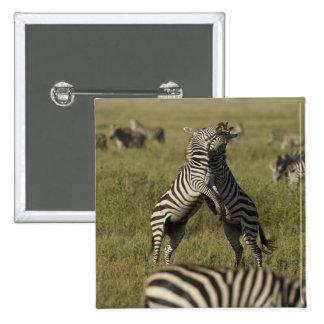 Common Zebra dominance behavior Button