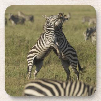 Common Zebra dominance behavior Beverage Coasters