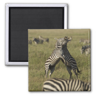 Common Zebra dominance behavior Magnet
