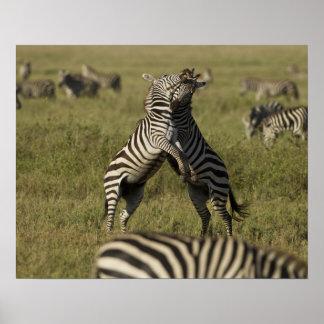 Common Zebra dominance behavior Poster