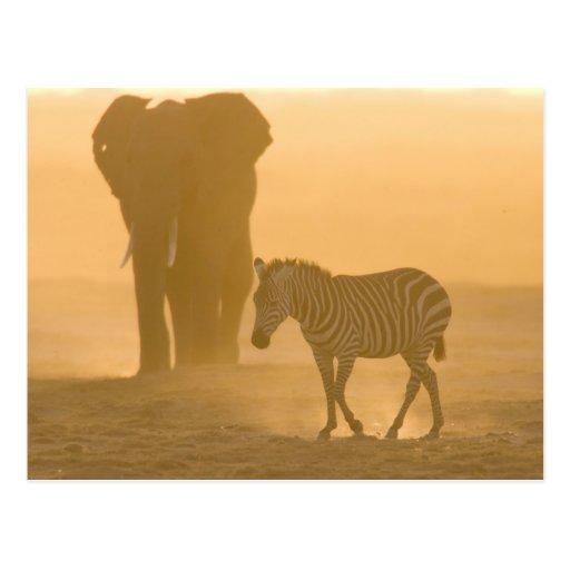 Common Zebra, Equus burchelli, and Elephant, Post Cards