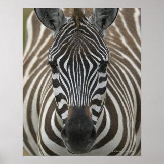 Common Zebra (Equus quagga), close up Print