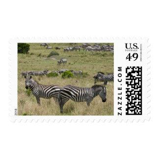 Common Zebra herd (Equus quagga), Masai Mara Stamp
