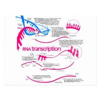 Cómo el mRNA se crea en un diagrama del núcleo Postal