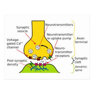 Cómo las señales del nervio se envían con sinapsis postales