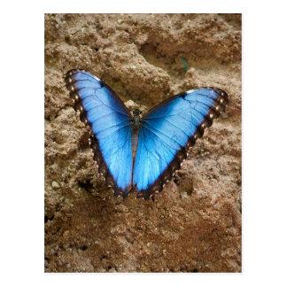 Comon Blue Morpho Butterfly Postcard