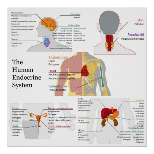Complete Diagram of the Human Endocrine System Poster Zazzle