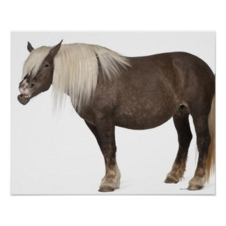 Comtois horse is a draft horse - Equus caballus Poster