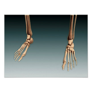 Conceptual Image Of Bones In Human Legs And Feet Poster