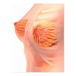 panniculus adiposus gifts on zazzle, Human Body