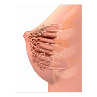 Conceptual Image Of Female Breast Anatomy 2 Postcard