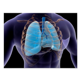 Conceptual Image Of Human Lungs And Rib Cage 2 Poster