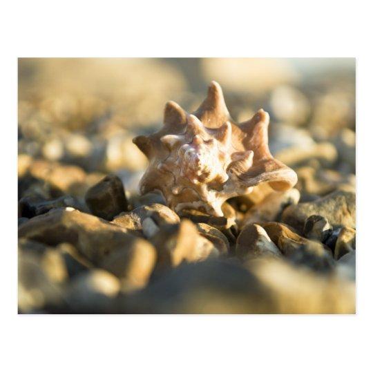 Conch shell postcard