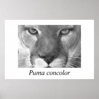Concolor del puma del puma póster