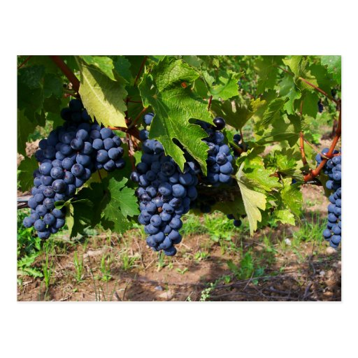 Concord Grapes on the Vine Postcard Postcards