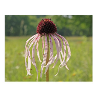 Cone Flower Drooping Petals Postcard