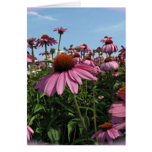 Cone Flowers Greeting Card