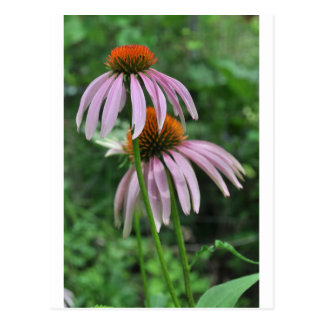 cone flowers postcard