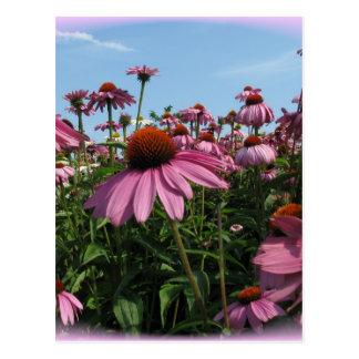 Cone Flowers Postcard