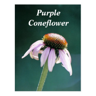 Cone in the Morning, Purple Coneflower Postcard