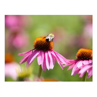 Coneflower and Honey Bee Postcard